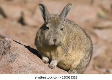 Viscacha, a relative of rabbits and chinchilla, Potosi region of Bolivia