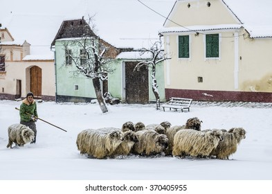 VISCRI, ROMANIA - JANUARY, 2016  - Unidentified shepherd moves his sheep to a safe place as heavy snow is falling in the Transylvanian village Viscri, Romania
