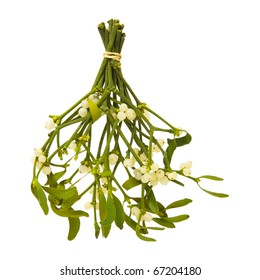 Viscum album (European Mistletoe; Common Mistletoe) tied up bunch with berries; isolated on white background