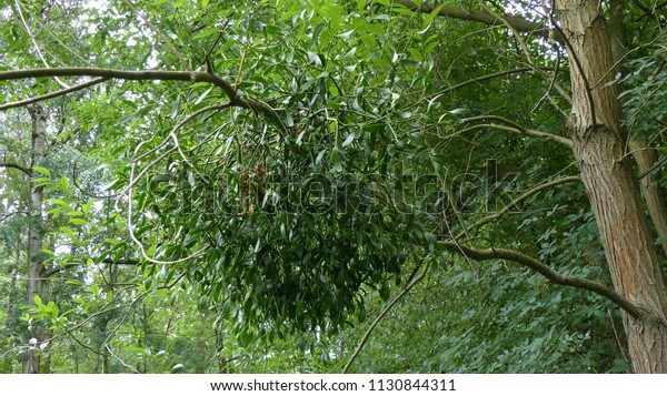 Viscum Genus About Species Mistletoes Native Stock Photo Edit Now