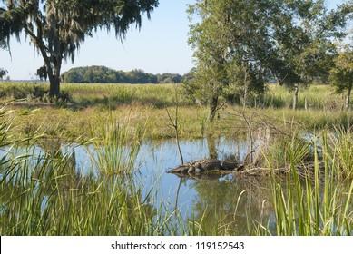 A vista with sleeping alligator at the Savannah National Wildlife Refuge in South Carolina.