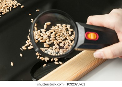 Visual analysis of wheat grain health using magnifying glass in a farm laboratory