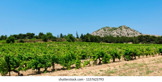 Vitaceous  near Les Baux-de-Provence, in the background the Alpilles. Bouches du Rhone, Provence, France, Europe.