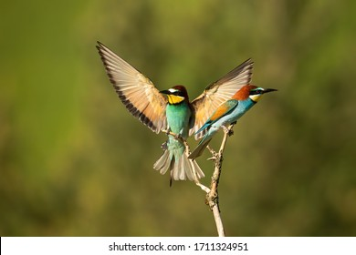 Vital european bee-eater, merops apiaster, landing with wings open wide in summer nature. Energetic bird with vivid plumage in flight during breeding season with blurred background