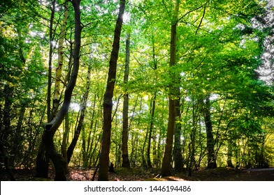 Vital forest in spring with deciduous green trees and sunlight. (Epping Forest, London, United Kingdom)