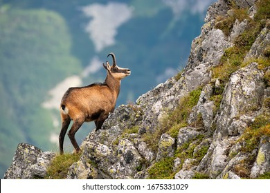 Vital tatra chamois, rupicapra rupicapra tatrica, climbing rocky hillside in mountains. Wild mammal looking up the cliff with copy space in High Tatras national park, Slovakia.