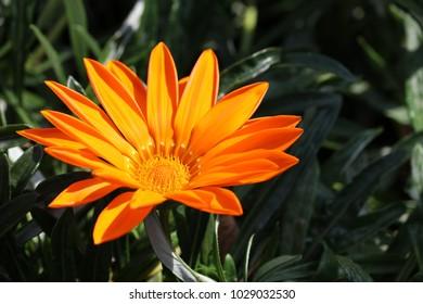 Vitamin Orange colored marigold