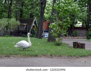 VITEBSK, BELARUS - JULY 8, 2016: Swan in the Vitebsk zoo