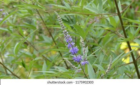 Vitex agnus-castus, also called vitex, chaste tree. Lamiaceae family. Hanover district, Germany.