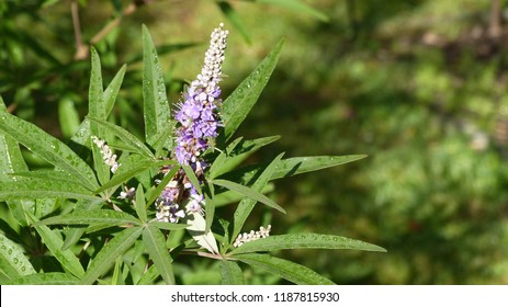 Vitex agnus-castus, also called vitex, chaste tree. Lamiaceae family.Location: Hanover district, Germany.