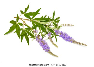 Vitex agnus-castus, also called vitex, chaste tree or chastetree, chasteberry, Abraham's balm, lilac chastetree or monk's pepper. Isolated.