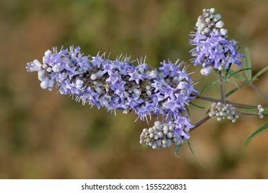 Vitex agnus-castus, also called vitex, chaste tree (or chastetree), chasteberry, Abraham's balm, lilac chastetree, or monk's pepper, Crete