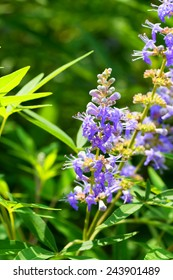 Vitex agnus-castus, Chasteberry, Verbenaceae, southern Europe