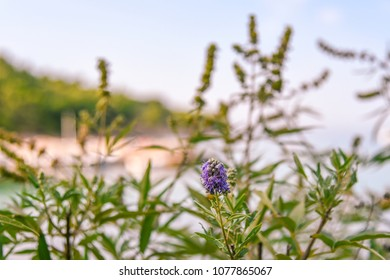 Vitex agnus-castus flowers against the backdrop of the sea bay. Blurred background