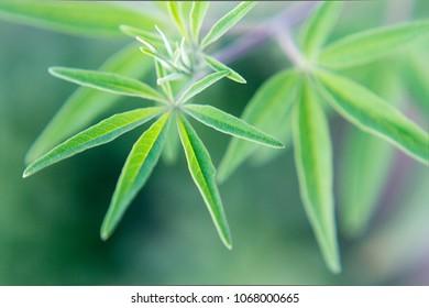 Vitex agnus-castus green plant, from mediterraneo. Macro Photography.