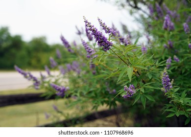 Vitex blooming spikes, grouping projecting left, selective focus on FG spike