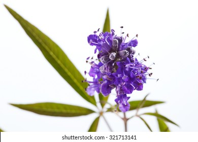 Vitex, chaste tree, medical plant