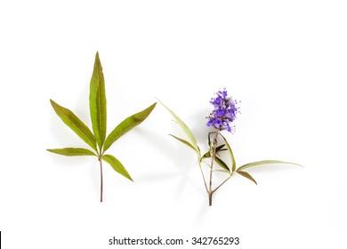 Vitex, chaste tree, medical plant