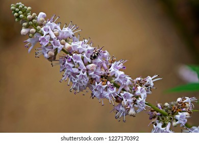 Vitex, chastetree or chasteberry flowers (Vitex agnus-castus)