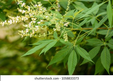 Vitex negundo (Chinese chaste tree, five-leaved chaste tree, horseshoe vitex) ; The numerous small white flowers on long panicles. supported by green leaves which lanceolate leaflet like a spread hand