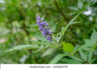 Vitex negundo, commonly known as the Chinese chaste tree, five-leaved chaste tree, or horseshoe vitex, is a large aromatic shrub with quadrangular