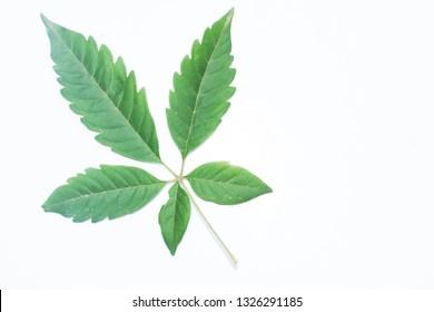 Vitex Negundo or medicinal nishinda leaves, lagundi leaves