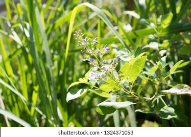 Vitex trifolia Currently in the family of basil Herbs There are other local names that the white man ...