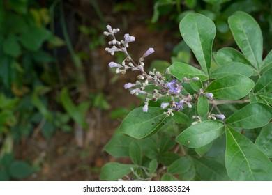 Vitex trifolia Linn. Tree Leaved Chaste Tree The herb has many benefits.