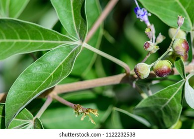 Vitex Vitex trifolia (simpleleaf chastetree) ; A colorful tiny purple flowering together with buds and rounded seeds on the same stalk at end branch. supported and increase prominence by green leaves.