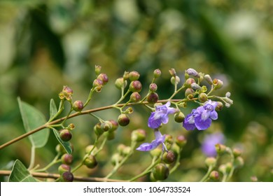 Vitex trifolia (simpleleaf chastetree) ; This is one of 3 species. panicles or clusters individual flowers, purple to violet two-lipped corollas. The fleshy fruits, rounded with black seeds inside.