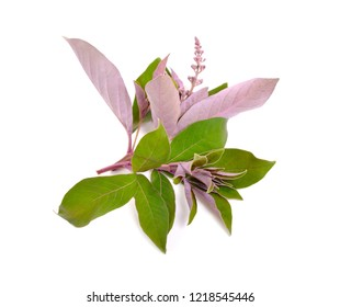 Vitex trifolia var purpurea. Isolated on white background.