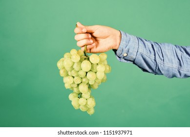 Viticulture and gardening concept. Male hand holds bunch of green grapes isolated on green background. Winegrower shows cluster of grapes. Farmer presents his harvest.