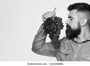 Viticulture and gardening concept. Man with beard holds bunch of black grapes isolated on white background, copy space. Farmer shows his harvest. Winegrower with dreamy face smells cluster of grapes