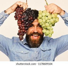Viticulture and gardening concept. Man with beard holds bunches of black and green grapes on white background. Farmer shows his harvest. Winegrower with cheerful face holds clusters of grapes up
