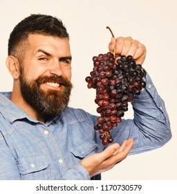 Viticulture and gardening concept. Winegrower with tricky smiling face holds cluster of grapes. Farmer shows his harvest. Man with beard holds bunch of black grapes isolated on white background