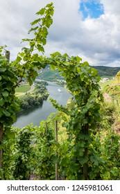 Viticulture on steep slopes near Ürzig on the Moselle