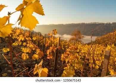 viticulture region Meissen, saxony, germany