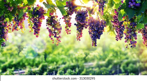 viticulture, the sun that ripens the grapes