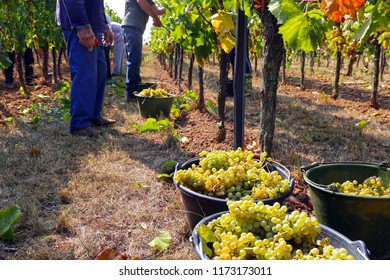 Viticulturists harvesting grapes in grape yard