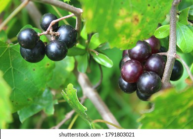 Vitis labrusca, the fox grape or muscadine, is a species of wild grapevines that belong to the Vitis genus in the flowering plant family Vitaceae. Fox grapes are Native to North America.