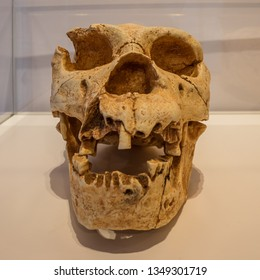 Vitoria-Gasteiz, Basque Country, Spain - March 17, 2019: Skull of a homo heidelbergensis shown in the exhibition of prehistory (paleolithic and neolithic) in the Bibat Museum in the Old Town
