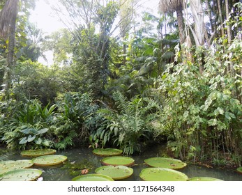Vitorias-regias (Brazilian plant) in artificial lake with trees on the banks in the background