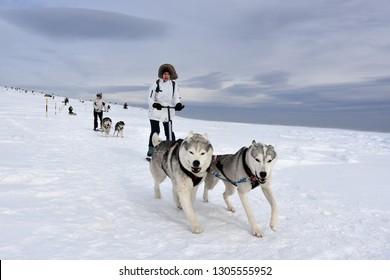 Vitosha, Bulgaria - February 03, 2019: Mushing race. Young women sledding with their Husky dogs high in Vitosha Mountain