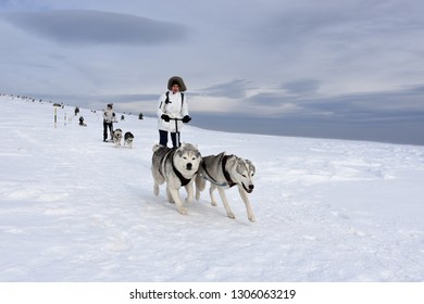 Vitosha, Bulgaria - February 03, 2019: Young woman with two Husky sled dogs during mushing race high in Vitosha Mountain