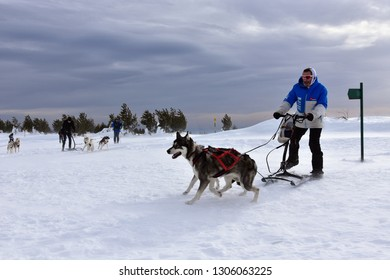 Vitosha, Bulgaria - February 03, 2019: Man with two Husky sled dogs during mushing race high in Vitosha Mountain.
