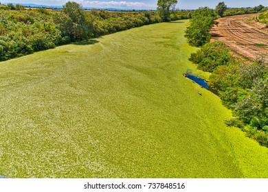 vivid background of green algae on river in Italian countryside