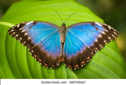 vivid blue morpho  butterfly sitting an tropical green leaf