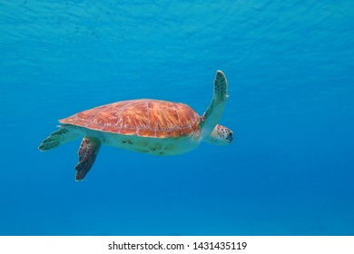 Vivid blue ocean and swimming green sea turtle (Chelonia mydas). Shallow sea and marine animal. Underwater photography from snorkeling with turtles. Aquatic life and blue.