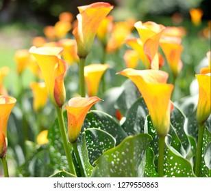 Vivid Bright Calla Lilies Arum Lily in a field in bright sunlight