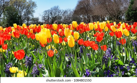 Vivid color of Springtime tulips in texas.